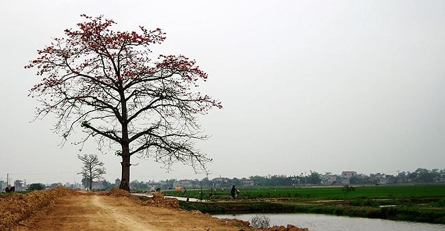 Cây Gạo Làng Bái - Nguyễn Phước Sang